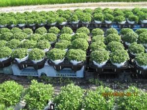 ガーデンマムの作畑
